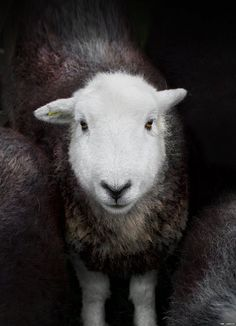 "Herdwick sheep from ""Herdwick: A Portrait of Lakeland""  Shot by photographer Ian Lawson.  When they are born, pure bred Herdwick lambs are largely black and often have tips of white on their ears. Their heads and legs then become white as they grow older and their fleece takes on a colour from blue-grey to light grey."