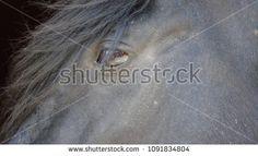 Eye of a black horse. Photographer reflected in the eye; compre este imagen de archivo (stock) en Shutterstock y encuentre otras imágenes. #animales #caballos