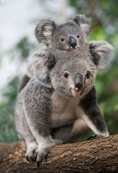 This orphaned koala is the cute . - This orphaned koala is the cutest thing you& see today bear - Cute Baby Animals, Animals And Pets, Funny Animals, Wild Animals, Lazy Animals, Australian Animals, Tier Fotos, Cute Creatures, Animal Photography