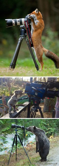 Animals That Want To Be Photographers These adorable photos capture the unexpected encounters between photographers and their subjects. Some animals seem to want to help out; others get behind the camera themselves. Mundo Animal, My Animal, Beautiful Creatures, Animals Beautiful, Animals And Pets, Baby Animals, Photo Animaliere, Animal Antics, Wale