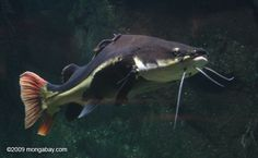 Red-tailed catfish - amazingly velvet to the touch.  What a beautiful and awesome creature!