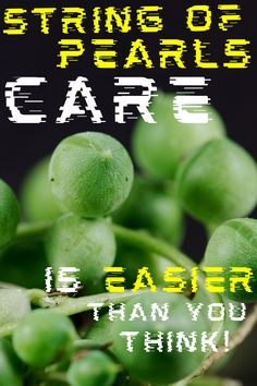 String of Pearls: Here's how to care of r this succulent#plantophiles #stringofpearls #stringofpearlshanging String Of Pearls, Container Plants, Plant Care, Houseplants, Succulents, Popular, Pearl Necklace, Indoor House Plants, Succulent Plants
