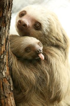 Wildlife -- Baby Hoffman's two-toed sloth Aysan sticks her tongue out in our Photo of the Week! Born July the little sloth still spends a lot of time hanging on to mom Hersey. Cute Baby Sloths, Cute Sloth, Funny Sloth, Baby Otters, Cute Little Animals, Cute Funny Animals, Two Toed Sloth, Tier Fotos, Cute Creatures