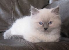 Blue mitted ragdoll kitten~I WANT ONE <3