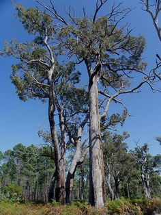 photo of eucalyptus marginata trees