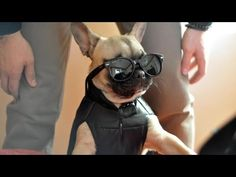 Cutest French Bulldog Puppies Compilation - YouTube