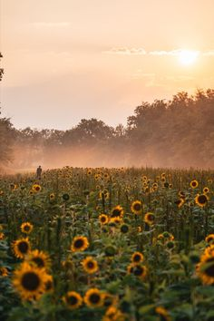 Sunflower Patch, Sunflower Fields, Potomac River, Travel Guides, Washington Dc, Vineyard, Mountains, Photography, Outdoor