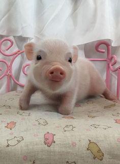 A piglet! - Gertrud Berens - A piglet! A piglet! Cute Baby Pigs, Baby Piglets, Cute Piglets, Baby Animals Super Cute, Cute Little Animals, Cute Funny Animals, Cute Dogs, Little Pigs, Baby Animals Pictures