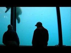 Zoo animals dont belong in the zoo-- polar bear breaks window Rotterdam Zoo