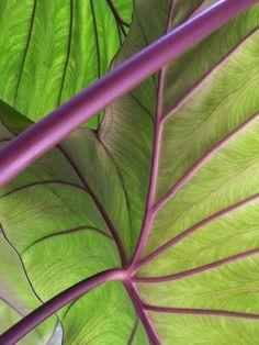 eggplant, chartreuse, spring garden