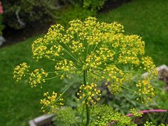 dill is so easy to grow