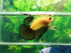 AquaBid.com - YELLOW BLACK PATTARN