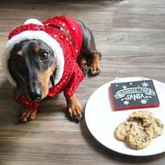 Don't forget to leave out cookies for Santa! | Community Post: 20 Adorable Dachshunds Who Are Totally Ready For Christmas