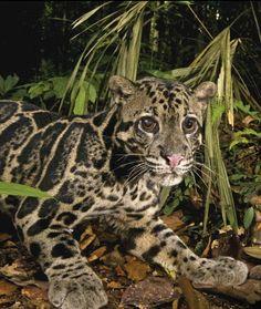 Rare leopard #BigCatFamily