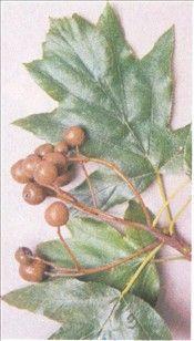 Tarmvridrøn er meget sjældent i Danmark. Det vokser kun på Møn, Bornholm og i en skov på Sydsjælland. I gamle dage brugte man bærrene mod f.eks. maveproblemer