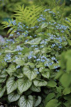 Brunnera macrophylla 'Jack Frost' (Vergeet mij niet) groot ruw blad, decoratieve voorjaarsbloeier, kan goed in schaduw groeien, mooi in grotere groepen
