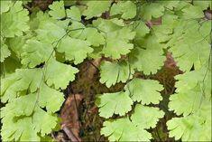 La capillaire est une fougère délicate très cultivée en appartement. Conseils de culture et d'entretien pour cette plante décorative.