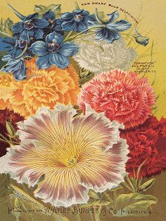 Flower illustration from 1894 W. Atlee Burpee & Co. catalog