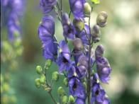 Lengthen your garden season by including  monkshood  in your planting areas. This purple-flowered perennial starts opening buds as frost is knocking at the garden gate—and keeps blooming through light frosts. Deer and rabbit dislike monkshood, which is poisonous to people if consumed. Plants can be slow to establish. Divide only when clumps are crowded, which shouldn't occur before the three-year mark. Plants are hardy in zones 4 to 8.