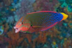 Coris gaimard, the yellowtail wrasse or African coris, among other vernacular names, is a species of wrasse native to the tropical waters of the central Indian Society Islands, Brine Shrimp, Tiger Stripes, Colorful Fish, Aquariums, Sea Creatures, Habitats, Underwater, Coral