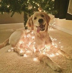 I love Christmas! Cute lab in lights.