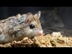 Amazing Facts of Faith — Oh to be like a Grasshopper Mouse
