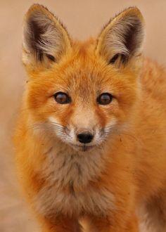 Red Fox Cub by Blackcat Photography - Guy Lichter Animals And Pets, Baby Animals, Cute Animals, Wild Animals, Fox Spirit, Spirit Animal, Wolf Hybrid, British Wildlife, Fox Art