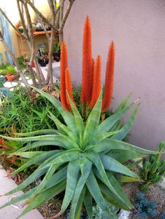 (Aloe spp.) are African plants from the drier parts of that continent. Aloes like this South African Cape Aloe or Bitter Aloe (Aloe ferox) below begin blooming in late February and early March.