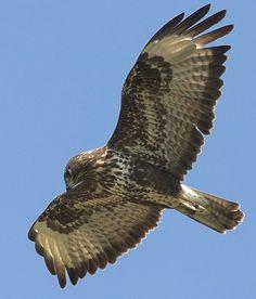 Vliegbeeld Buizerd. Het verenkleed van de buizerd is zeer variabel: sommige zijn bijna geheel donkerbruin maar er zijn ook hele lichte buizerds met een vrijwel witte onderzijde en veel wit aan de bovenzijde