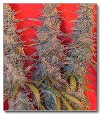 smokethesativa:  Purple Maroc