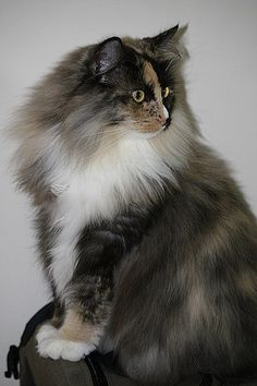 Norwegian forest cat and a Maine Coon Pretty Cats, Beautiful Cats, Animals Beautiful, Cute Animals, I Love Cats, Crazy Cats, Cute Cats, Interactive Cat Toys, Exotic Cats