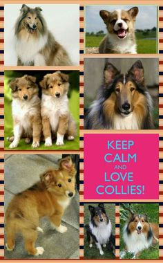 Collies - the best dog you'll ever have.