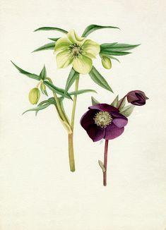 Graham Stuart Thomas -- Helleborus 'Bowles's yellow', Helleborus atrorubens -- Graham Stuart Thomas -- Artists -- RHS Prints