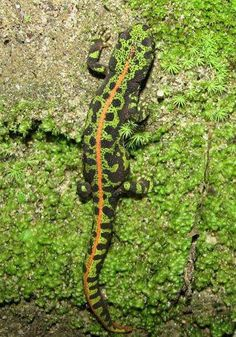Salamandra painted to confuse with the green vegetation ...