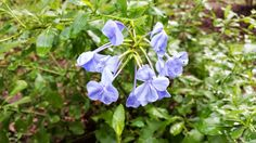 "Blue Plumbago - The Daily Bloom ""Plumbago is used traditionally to treat warts, broken bones and wounds. It is taken as a snuff for headaches and as an emetic to dispel bad dreams. A stick of the plant is placed in the thatch of huts to ward off lightning"