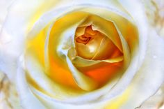 Magic Ivory Rose by Julia Fine Art by Julia Fine Art And Photography Ivory, Magic, Fine Art, Wall Art, Rose, Unique, Flowers, Photography, Pink