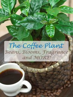 A great photograph of a small coffee plant. Read all about the coffee plant, including how to grow your own coffee beans indoors and how to prepare them for fresh, home brewed coffee. Orchid Fertilizer, Bean Plant, Coffee Plant, Coffee Coffee, Coffee Shop, Fast Growing Trees, Organic Soil, Plant Needs, Grow Your Own