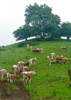 Pasture : land covered with grass and other low plants suitable for grazing animals Grazing Cow, Grazing Animals, Farm Animals, Animals And Pets, Agriculture, Farming, Raising Cattle, Deer Pictures, Moss Garden