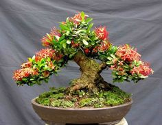 Znalezione obrazy dla zapytania bonsai kwitnące