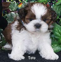 Pin On Shih Tzu Puppy