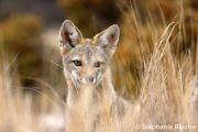 <h5>REN_0128</h5><p>Renard gris d'Argentine / Pseudalopex griseus / South American grey fox _ Punta Norte, Province du Chubut, Patagonie, Argentine</p>