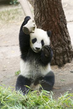 After balancing on the tree limb Yun Zi makes the perfect dismount. The crowd goes wild! No kidding, the crowd went wild and the narrator had to ask everyone to lower their voices. Panda Bebe, Cute Panda, Red Panda, Panda Panda, Baby Animals, Funny Animals, Cute Animals, Baby Pandas, Giant Pandas