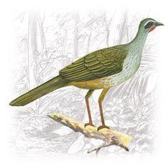 Jacupemba (Penelope superciliaris)