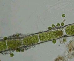Euglenoids al gas marinas para adelgazar