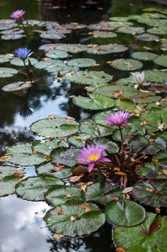 Love Garden, Water Garden, Fruit Garden, Beautiful Gardens, Beautiful Flowers, Scenery Photography, Lily Pond, Garden Fountains, Blue Hydrangea