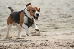 Training beagle to walk off leash? Is it possible? Find out more on my blog http://www.dogbreedstraining.com/cody-answers/beagle-off-leash-is-it-possible/