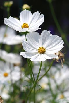 114 best cosmos my favorite flower images on pinterest beautiful white cosmos duo mightylinksfo