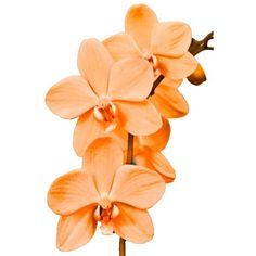 Orange Orchid Art Print ($20) ❤ liked on Polyvore featuring home, home decor, wall art, flowers, photography wall art, orange home accessories, orchid flower stem, flower home decor and flower stem