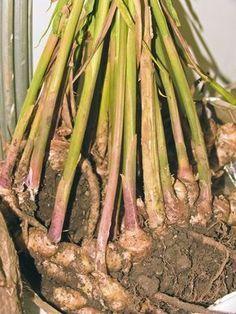 Kořeny se rozrůstají do šířky Growing Greens, Private Garden, Ikebana, Indoor Garden, Garden Inspiration, Vegetable Garden, Bonsai, Asparagus, Flower Pots