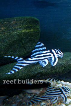 Zebra Pleco Sea Aquarium, Freshwater Aquarium Fish, Cichlid Fish, Cichlids, Plecostomus, Catfish, Aquariums, Tropical Fish, Marine Life